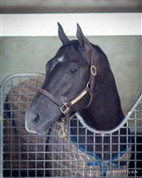 /horse/Cairo Prince 2