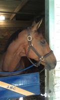 /horse/Izzy Golden