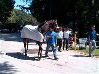Gracer before winning a Maiden Special Weight at Saratoga.