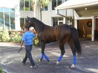 Daddy Forty Nine Schooling in Fairgrounds Paddock