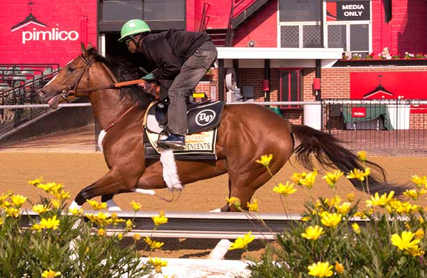 Goldencents prepares for Preakness 2013.