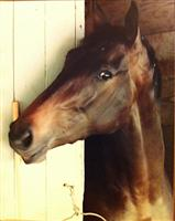 Sweetest Chant in her stall at Gulfstream Park 1982