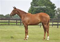 /horse/Invasor sophie Yearling
