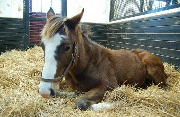 Sagamore Foal