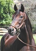 /horse/Turkoman